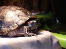 sömnig sköldpadda Arkivbild