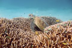 Sömnig sköldpadda Arkivbilder