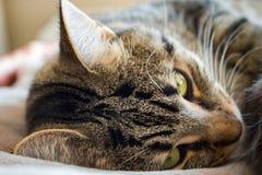 Sömnig strimmig kattkatt Royaltyfri Foto