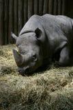 sömnig svart noshörning royaltyfri fotografi