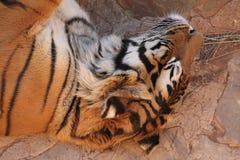 sömnig tiger Arkivfoto