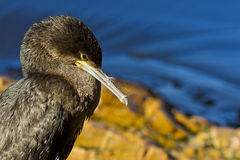 Sömnig ung kormoran Arkivfoto