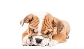 Sömnig valp av den engelska bulldoggen Royaltyfria Foton
