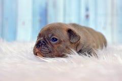 Sömnig valp för hund för fransk bulldogg för 4 veckor gammal sällsynt färglila med blåa ögon som ligger på den vita pälsfilten arkivbild