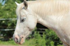 Sömnig vit häst Arkivfoto