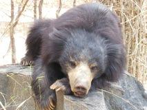 Sömniga Big Bear Arkivfoto