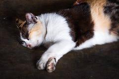Sömniga Cat Sleep på golvet Arkivfoto