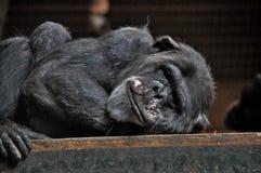 Sömniga Chimpanze royaltyfria bilder