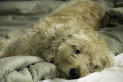 Sömniga Labradoodle i säng Arkivbilder