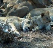 sömniga lions royaltyfria bilder