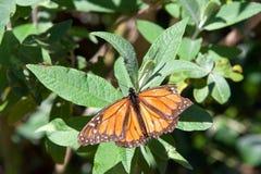 Söndersliten monarkfjäril med den skadade vingen på gröna sidor royaltyfria bilder