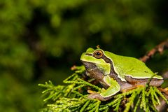 Sörja andersoniien för hylaen för den Barrens trädgrodan Royaltyfri Fotografi