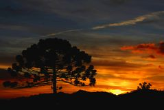 Sörja av Araucaria på gryningtrenden av den freosty dagen arkivbild