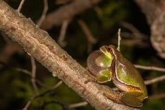 Sörja Barrens Treefrog Arkivfoton
