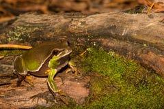 Sörja Barrens Treefrog Arkivbild