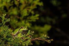 Sörja Barrens Treefrog Arkivbilder