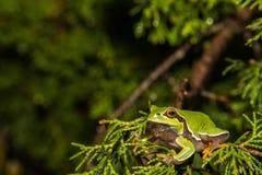 Sörja Barrens Treefrog Royaltyfri Foto