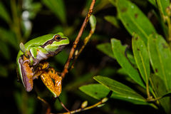 Sörja Barrens Treefrog Royaltyfria Foton