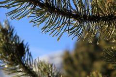 Sörja barrträds- och vattendroppen under solsken Fotografering för Bildbyråer