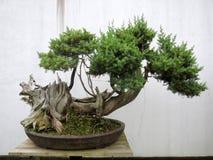 Sörja bonsai fotografering för bildbyråer