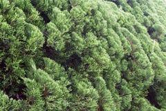 Sörja busken Royaltyfri Bild