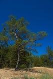 sörja den enkla treen Royaltyfria Bilder