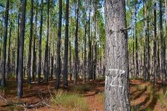 Sörja det queenslan träskogträdet Arkivbild