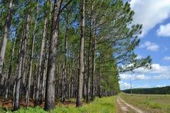 Sörja det queenslan träskogträdet Arkivfoto
