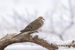 Sörja duvan i vinter Arkivfoto