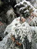 Sörja förgrena sig doldt med snow Arkivbild