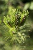 Sörja filialen med små kottar, grön bakgrund royaltyfri foto