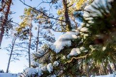 Sörja filialen med snö på en solig dag Arkivfoton