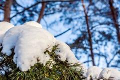 Sörja filialen med snö på en solig dag Fotografering för Bildbyråer