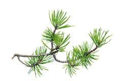 Sörja filialen (Pinuscontorta) som isoleras på vit Fotografering för Bildbyråer