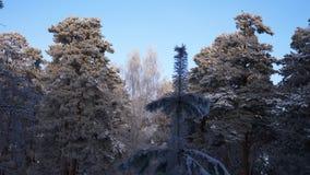 Sörja filialen som täckas med rimfrostvinterbakgrund Tree i frost arkivfilmer