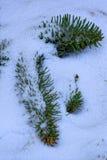 Sörja filialen som täckas med snöfilten Fotografering för Bildbyråer