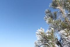 Sörja filialer i en frost på en blå himmel i vintern Royaltyfri Foto