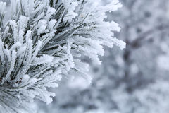 Sörja filialer med visare som täckas av frost Royaltyfri Foto