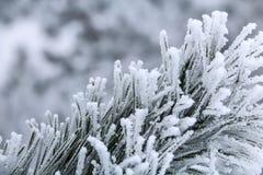 Sörja filialer med visare som täckas av frost Arkivbild