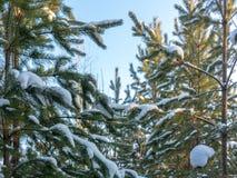 Sörja filialer med visare som täckas med snö mot den blåa himlen royaltyfria foton