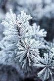 Sörja filialer som täckas med rimfrost Royaltyfria Bilder