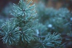 Sörja filialer som täckas med rimfrost, början av vintern Arkivbild