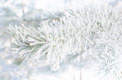 Sörja filialer som täckas med snö på en solig dag Royaltyfri Foto