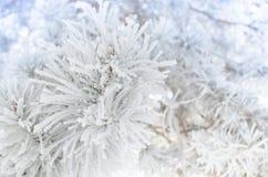 Sörja filialer som täckas med snö på en solig dag Royaltyfria Foton