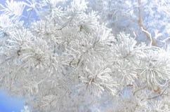 Sörja filialer som täckas med snö på en solig dag Arkivfoto