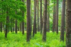 Sörja Forest Summer tid Gröna träd, sörjer Royaltyfri Bild