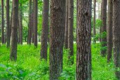 Sörja Forest Summer tid Gröna träd, sörjer Arkivfoto