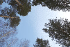 sörja högväxt trees Arkivfoto