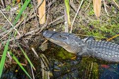 Sörja kottar och alligatorn Royaltyfri Bild