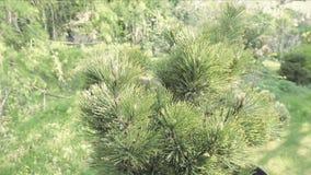 Sörja kottar som sitter på, sörjer trädet Detalj av trädet med visaren lager videofilmer